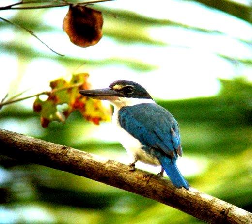 Morning Birding in Langkawi