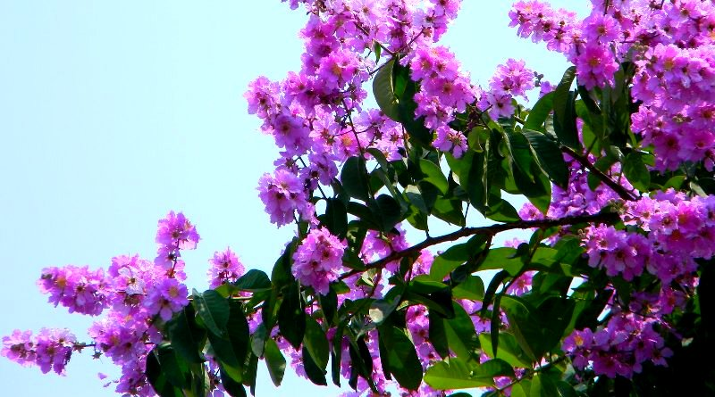 Langkawi in Bloom