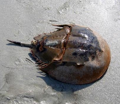 Horseshoe Crab An Ancient wonder