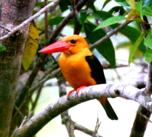 brown-winged Kingfisher-2
