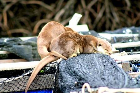 Resident Otter Family
