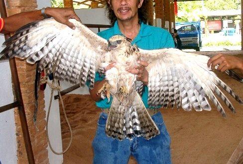 Mountain Hawk-Eagles
