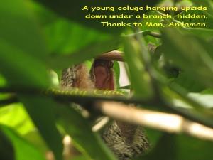 colugo-hanging