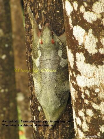 female-colugo