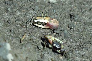fiddler-crab
