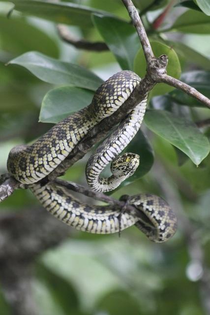 mangrove-pit-viper