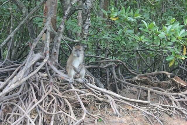 macaque-monkey