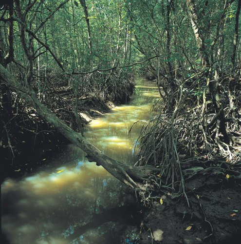 Mysterious Mangrove
