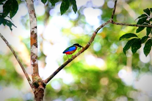 Blue Winged Pitta