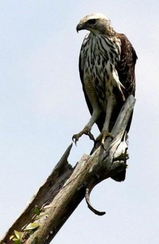 Changeble Hawk Eagle