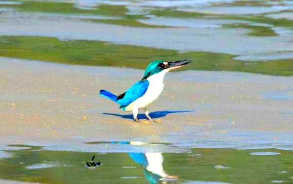 Birding-langkawi-Collared Kingfisher