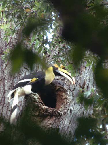 The Magnificent Great Hornbills