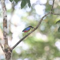 West Malaysia Birding