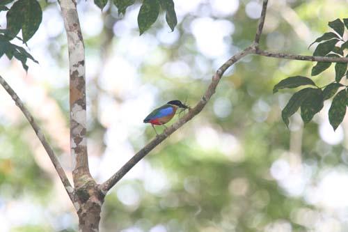 langkawi-birding-2day--(15)