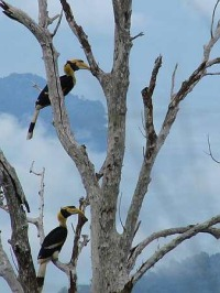 langkawi-hornbills