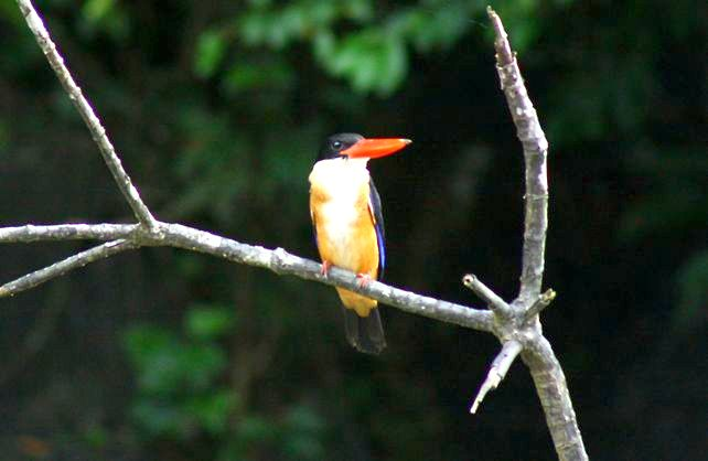 Black Capped Kingfisher -mangrove swamp