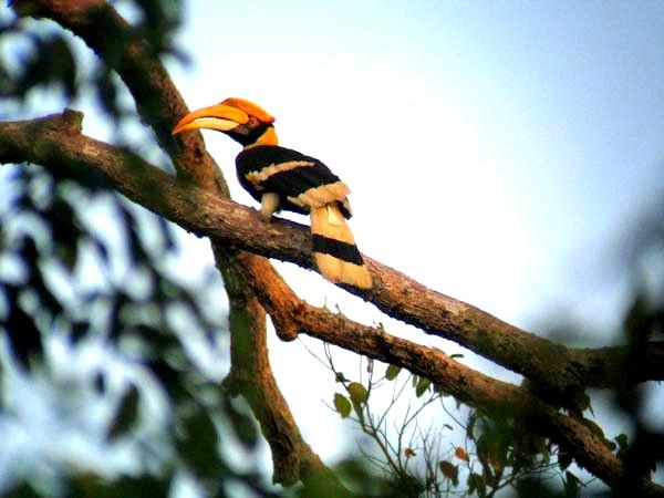 Rainforest Aid-Hornbill Project