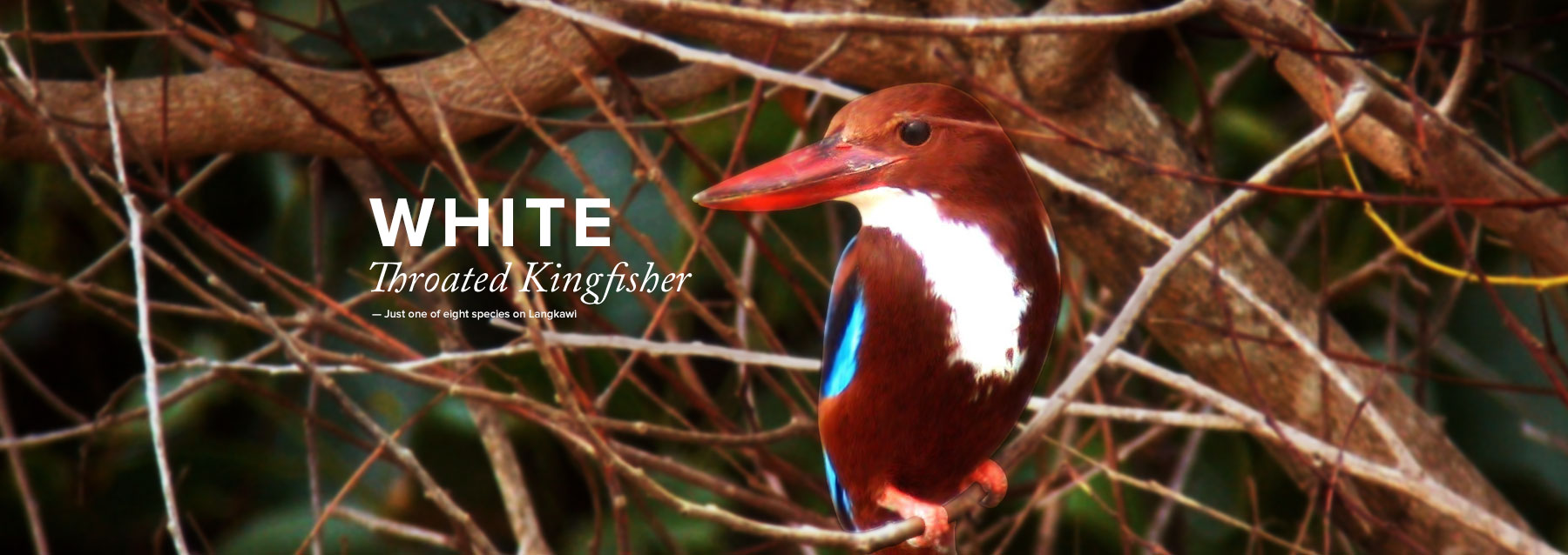 Throated Kingfisher