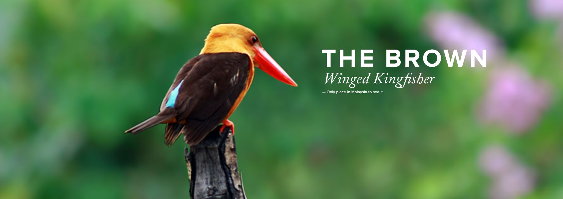 Winged Kingfisher