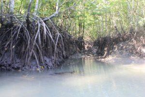 mangrove-langkawi