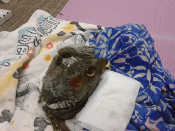 Looking after Colugo – Day 2 & 3