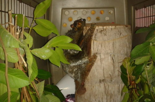 Colugo – hang in there!