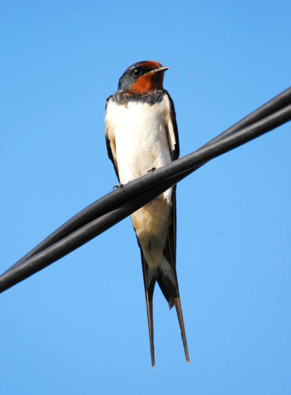Barn Swallow 011108SgBurung