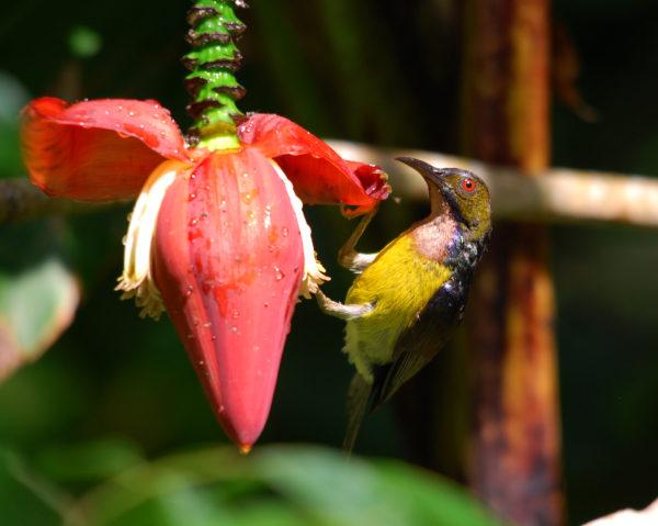 Brown-throated Sunbird 050714 Bkt Gambir