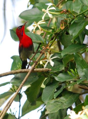 Birding-langkawi-Crimson-Sunbird