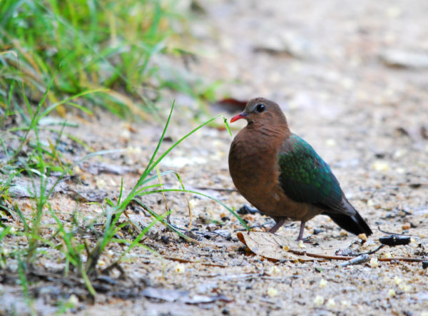 Emerald Dove 141109BktGambir