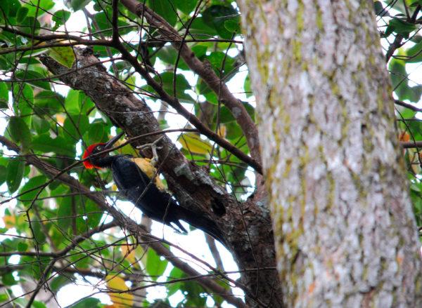 White-bellied Woodpecker 010110BktPenara (10)