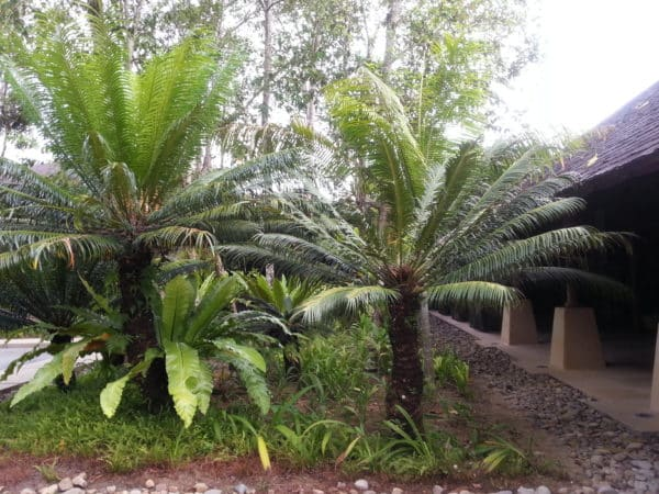 The Ultimate Jurassic Plant (Cycad)