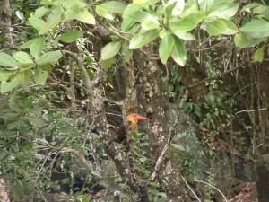 Brown Winged Kingfisher