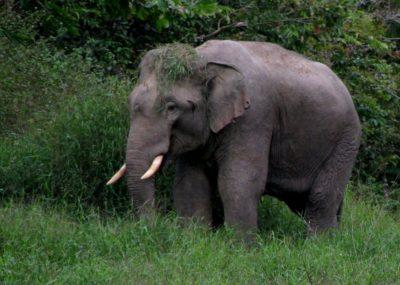 elephant-ulu-muda-malaysia