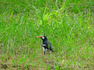Perlis-Asian Pied Starling