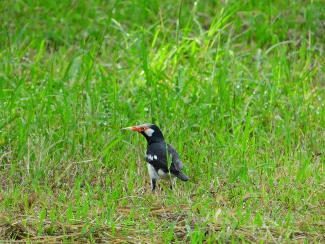 Perlis-Asian Pied Starling