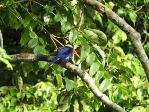 Perlis-Black-capped Kingfisher