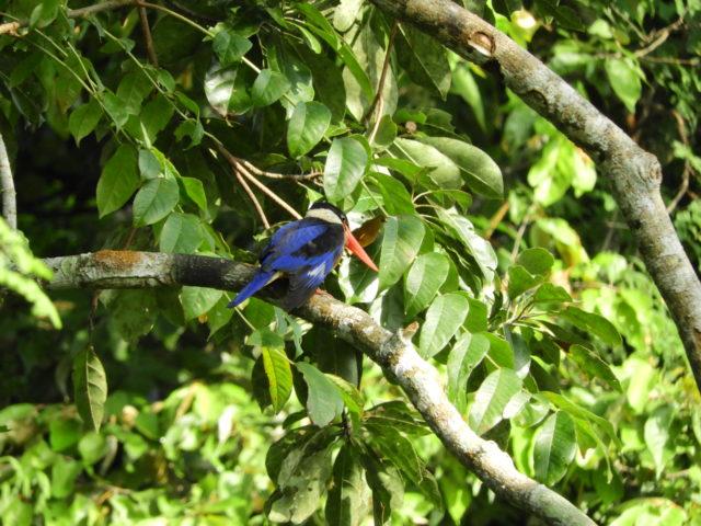 Perlis-Black-capped Kingfisher