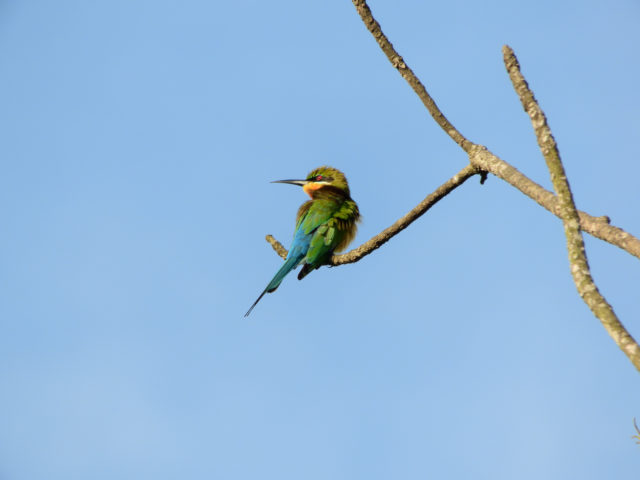 Perlis-Blue-tailed Bee-eater