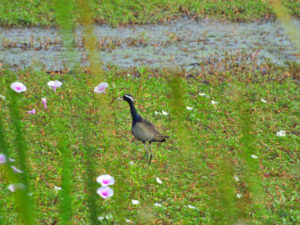 Perlis-Bronze-winged Jacana