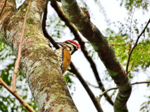 Perlis-Common Flameback