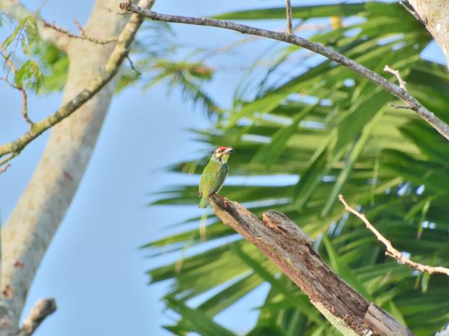 Perlis-Coppersmith Barbet