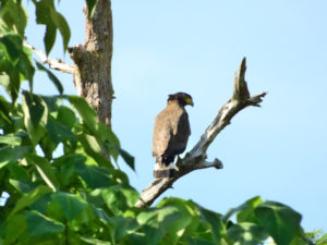 Perlis-Crested Serpent Eagle