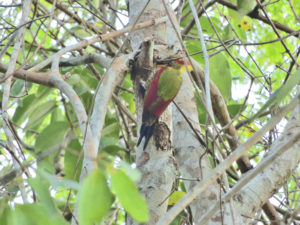 Perlis-Crimson-winged Yellownape