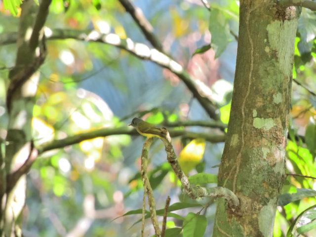 Perlis-Grey-headed Canary-flycatcher