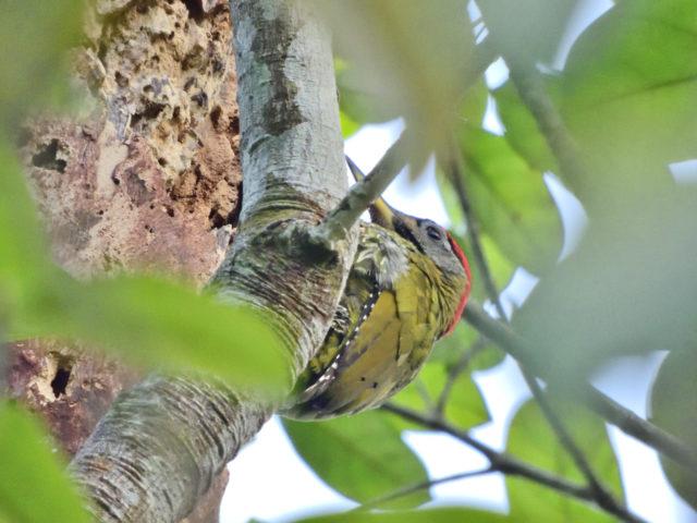 Perlis-Laced Woodpecker