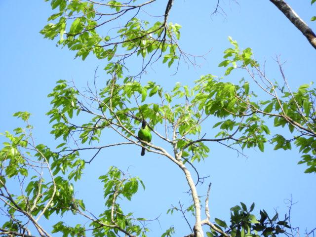 Perlis-Lesser Green-leafbird