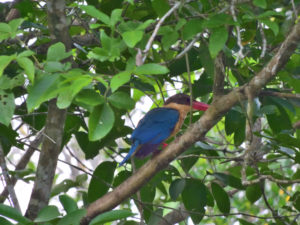 Perlis-Stork-billed Kingfisher2