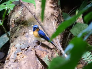 Perlis-Tickell's Blue Flycatcher